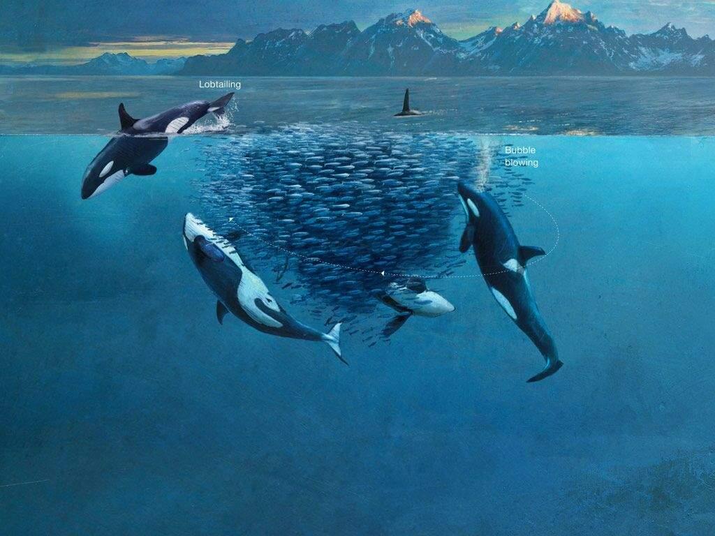 los grupos de orcas se organizan para cazar