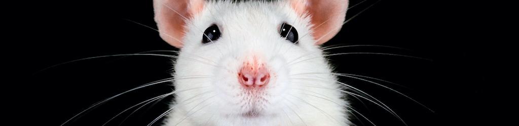 Cabeza de ratón, por José María Martín