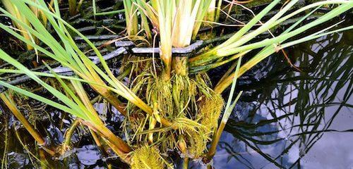 Depuración natural del agua mediante plantas;