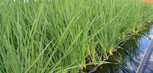 Depuración ecológica mediante plantas;